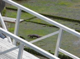 089. Otter at Cow Bay