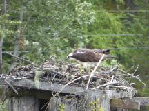 201. Osprey at Kootenay Bay